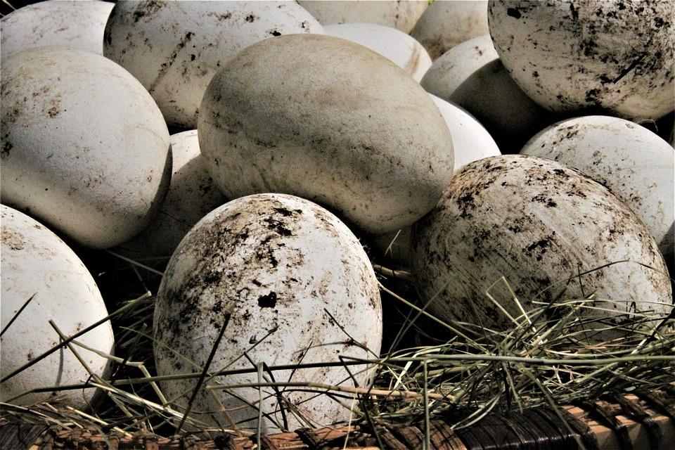 Gänse Eier